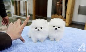 Filhotes de cachorro Pome